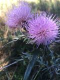 Πορφυρά λουλούδια Prickle Στοκ φωτογραφία με δικαίωμα ελεύθερης χρήσης