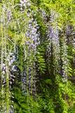 Πορφυρά λουλούδια Wisteria που κρεμούν μπροστά από όλα Στοκ Φωτογραφία