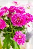 Πορφυρά, ρόδινα λουλούδια φθινοπώρου χρυσάνθεμων Στοκ φωτογραφία με δικαίωμα ελεύθερης χρήσης