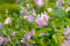Πορφυρά ρόδινα mallow λιβαδιών λουλούδια (Malva) Στοκ Εικόνες