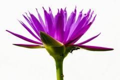 Πορφυρά σκουλήκια και έντομα Lotus Στοκ Φωτογραφίες