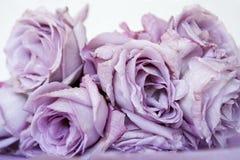 Πορφυρά τριαντάφυλλα Στοκ Εικόνες