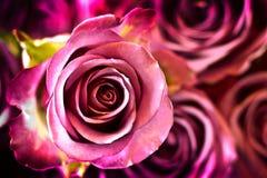 πορφυρά τριαντάφυλλα Στοκ Εικόνα