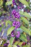 Πορφυρά φρούτα χρώματος Στοκ Φωτογραφία