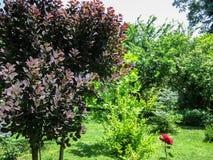 Πορφυρά φύλλα της βασιλικής πορφύρας coggygria Cotinus στο αριστερό στον όμορφο εξωραϊσμένο κήπο με τα evergreens και τον πράσινο στοκ φωτογραφία