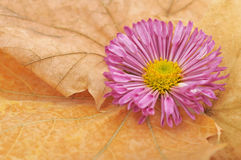 Πορφυρά χρυσάνθεμα στα κίτρινα φύλλα φθινοπώρου Στοκ Φωτογραφίες