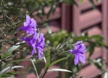 Πορφυρά χρωματισμένα λουλούδια Στοκ φωτογραφία με δικαίωμα ελεύθερης χρήσης