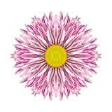 Πορφυρά λωρίδες στο ομόκεντρο λουλούδι Mandala χρυσάνθεμων Στοκ Εικόνα