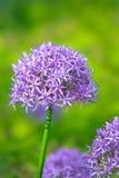 Πορφυρά allium λουλούδια στο βοτανικό κήπο Στοκ Εικόνες