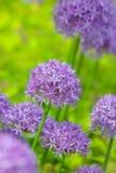Πορφυρά allium λουλούδια στο βοτανικό κήπο Στοκ φωτογραφία με δικαίωμα ελεύθερης χρήσης