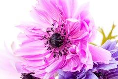 Πορφυρά anemones Στοκ εικόνες με δικαίωμα ελεύθερης χρήσης