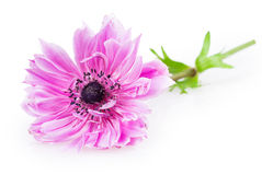 Πορφυρά anemones Στοκ εικόνα με δικαίωμα ελεύθερης χρήσης