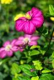 Πορφυρά clematis λουλουδιών Στοκ φωτογραφία με δικαίωμα ελεύθερης χρήσης