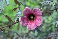 Πορφυρά hibiscus στην άνθιση στο πράσινο υπόβαθρο Στοκ Φωτογραφίες
