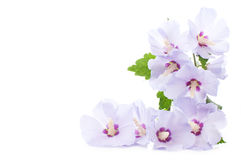 Πορφυρά hibiscus Στοκ Εικόνα