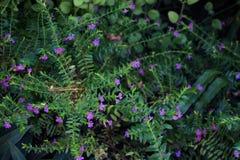 Πορφυρά hyssopifolia και Rhoeo Cuphea λουλουδιών Στοκ φωτογραφία με δικαίωμα ελεύθερης χρήσης