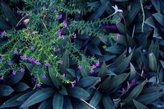 Πορφυρά hyssopifolia και Rhoeo Cuphea λουλουδιών Στοκ Φωτογραφία