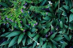 Πορφυρά hyssopifolia και Rhoeo Cuphea λουλουδιών Στοκ Εικόνες