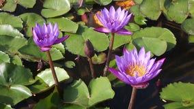Πορφυρά lotuses λουλουδιών στη λίμνη απόθεμα βίντεο