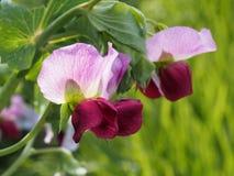 Πορφυρά podded μπιζέλια κήπων στο λουλούδι στενό λευκό τουλιπών κόκκινων ανοίξεων κήπων λουλουδιών κερασιών επάνω Στοκ φωτογραφίες με δικαίωμα ελεύθερης χρήσης