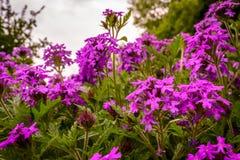 Πορφυρά wildflowers που εξετάζουν επάνω τον ήλιο στοκ εικόνα