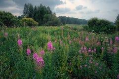 Πορφυρά wildflowers στο σύνολο τομέων Ural της πράσινης χλόης Στοκ Εικόνες