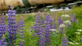 Πορφυρές ανθίσεις lupines στους τομείς Στο υπόβαθρο ένα τραίνο ταξιδεύει απόθεμα βίντεο