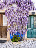 Πορφυρές αυξανόμενες arounf πόρτες εγκαταστάσεων wisteria ενός παλαιού σπιτιού Po Στοκ Εικόνα