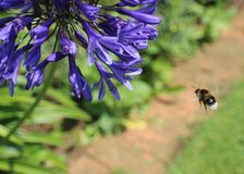 Πορφυρές εγκαταστάσεις με την κινηματογράφηση σε πρώτο πλάνο της μέλισσας Στοκ Εικόνες