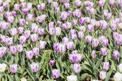 Πορφυρές και άσπρες τουλίπες σε έναν κήπο άνοιξη Στοκ φωτογραφίες με δικαίωμα ελεύθερης χρήσης