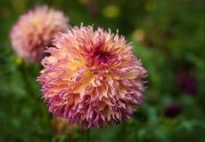 Πορφυρές ντάλιες που ανθίζουν στον κήπο το καλοκαίρι Στοκ εικόνες με δικαίωμα ελεύθερης χρήσης