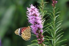 Πορφυρές λουλούδια και πεταλούδα Στοκ Φωτογραφία