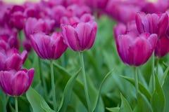 πορφυρές τουλίπες Κρεβάτι ή κήπος λουλουδιών με τις διαφορετικές ποικιλίες των τουλιπών Στοκ φωτογραφία με δικαίωμα ελεύθερης χρήσης