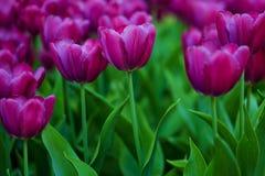 πορφυρές τουλίπες Κρεβάτι ή κήπος λουλουδιών με τις διαφορετικές ποικιλίες των τουλιπών Στοκ Φωτογραφία