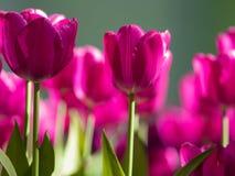 πορφυρές τουλίπες Κρεβάτι ή κήπος λουλουδιών με τις διαφορετικές ποικιλίες των τουλιπών Στοκ εικόνα με δικαίωμα ελεύθερης χρήσης