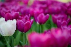 πορφυρές τουλίπες Κρεβάτι ή κήπος λουλουδιών με τις διαφορετικές ποικιλίες των τουλιπών Στοκ Εικόνες