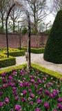 Πορφυρές τουλίπες σε έναν αφηρημένο κήπο buxus Στοκ Εικόνες