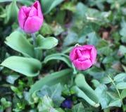 Πορφυρές τουλίπες σε έναν κήπο στην Ολλανδία Στοκ φωτογραφία με δικαίωμα ελεύθερης χρήσης