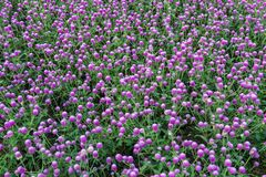 Πορφυρή άνθιση λουλουδιών αμάραντων σφαιρών Στοκ Φωτογραφίες