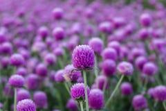Πορφυρή άνθιση λουλουδιών αμάραντων σφαιρών Στοκ φωτογραφία με δικαίωμα ελεύθερης χρήσης
