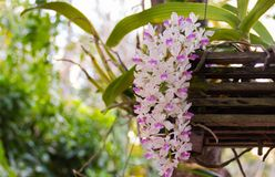 Πορφυρή άνθιση λουλουδιών ορχιδεών gigantea Rhynchostylis στοκ φωτογραφίες με δικαίωμα ελεύθερης χρήσης