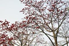 πορφυρή άνοιξη καπόκ λουλ Στοκ Εικόνες