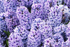 πορφυρή άνοιξη υάκινθων λουλουδιών Στοκ εικόνα με δικαίωμα ελεύθερης χρήσης