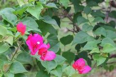 Πορφυρή εκλεκτική εστίαση λουλουδιών Bougainvillea Στοκ Φωτογραφία