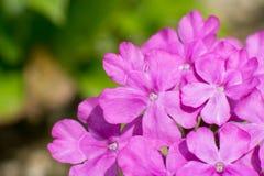 Πορφυρή λεπτομέρεια λουλουδιών Στοκ Εικόνες