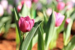 Πορφυρή ηλιοφάνεια λουλουδιών τουλιπών, κήπος άνοιξη Στοκ Φωτογραφίες