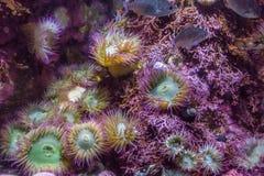 Πορφυρή θάλασσα Anemones Στοκ φωτογραφίες με δικαίωμα ελεύθερης χρήσης
