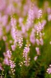 Πορφυρή θαμπάδα Heather Calluna vulgaris Στοκ εικόνα με δικαίωμα ελεύθερης χρήσης