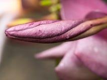 Πορφυρή κίτρινη άνθιση λουλουδιών Plumelia Στοκ Φωτογραφίες