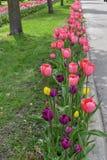 Πορφυρή, κίτρινη, κόκκινη και ρόδινη ευθυγραμμισμένη τουλίπα λεωφόρος της Ουάσιγκτον, Ολλανδία, Μίτσιγκαν στοκ φωτογραφία με δικαίωμα ελεύθερης χρήσης
